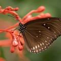 Черная бабочка на экзотическом растении, макро - Black butterfly on an exotic plant, macro
