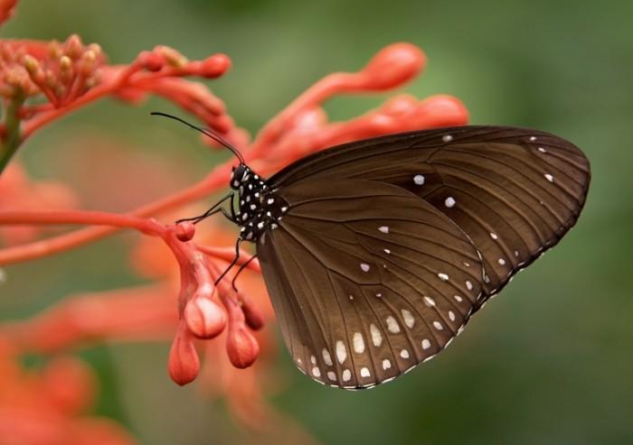 Черная бабочка на экзотическом растении, макро   Black butterfly on an exotic plant, macro
