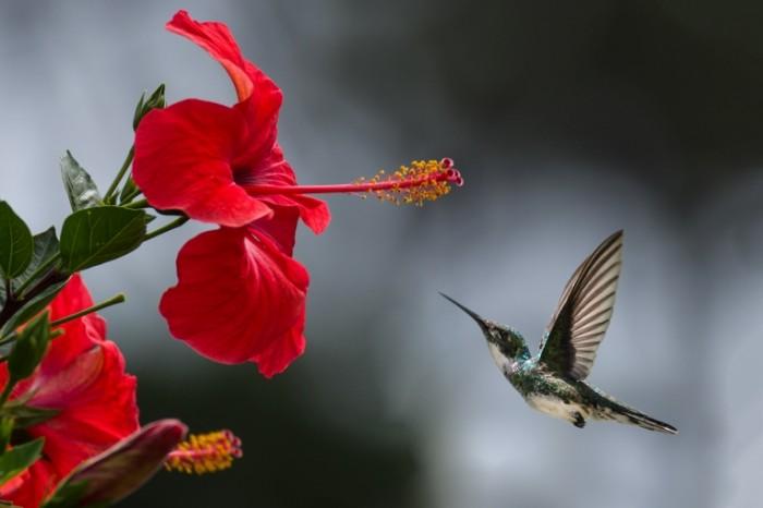 Колибри, котический красный цветок, макро   Hummingbird, cats red flower, macro