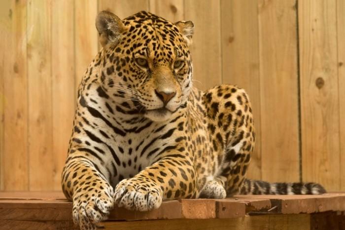 Leopard dikaya koshka krupnyim planom Leopard wildcat closeup 6000h4000 700x466 Леопард, дикая кошка, крупным планом   Leopard, wildcat, closeup