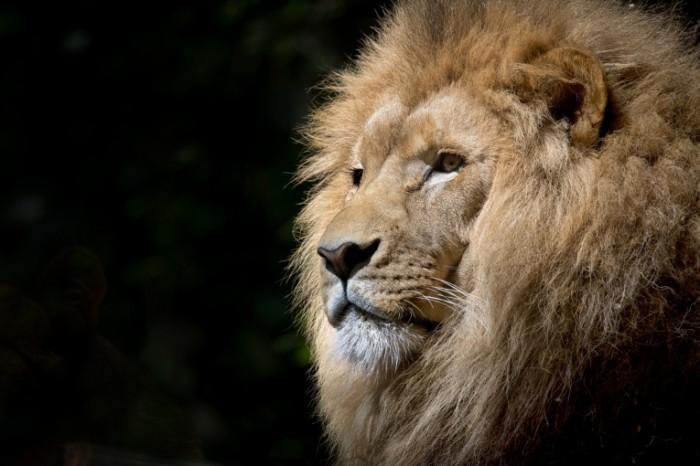 Lev griva bolshaya koshka Lion mane big cat 4523h2835 700x466 Лев, грива, большая кошка   Lion, mane, big cat