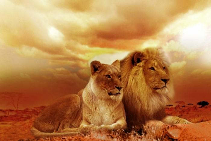 Лев и львица в пустыни, песчаная буря   Lion and lioness in the desert, sand storm