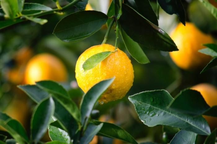 Limon na vetke makro posle dozhdya Lemon on a branch macro after the rain 4163h2775 700x465 Лимон на ветке, макро, после дождя   Lemon on a branch, macro, after the rain