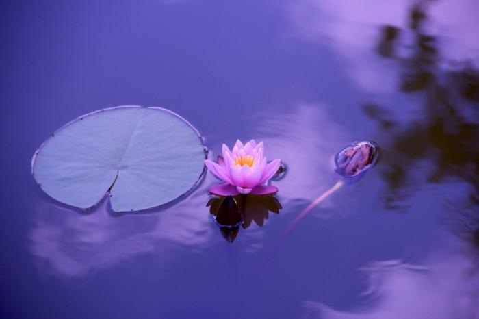 Lotos prud tsvetok kuvshinka Lotus pond flower water lily 5184  3456 700x466 Лотос, пруд, цветок, кувшинка   Lotus, pond, flower, water lily