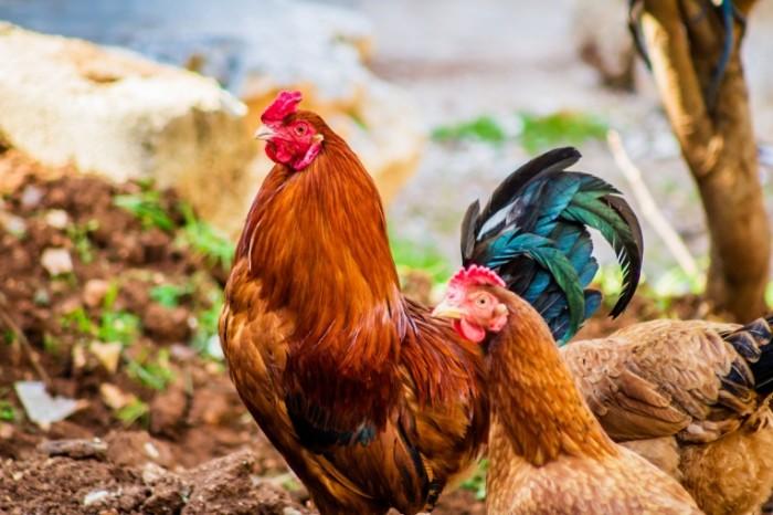 Petuh domashnyaya ptitsa budushhie okorochka Rooster poultry future chicken legs 5148h3456 700x466 Петух, домашняя птица, будущие окорочка   Rooster, poultry, future chicken legs