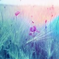 Поле, мак, светофильтр, фон - Field, poppy, light filter, background