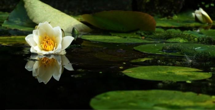 Пруд, лилии, макро, кувшинки, водоем   Pond, lilies, macro, water lilies, pond