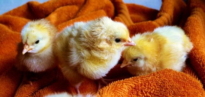 Ptentsyi malenkaya kuritsa makro Chicks little chicken macro 5100h2423 700x332 Птенцы, маленькая курица, макро   Chicks, little chicken, macro