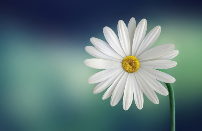Romashka tsvetok makro priroda Camomile flower macro nature 5107h3325 700x455 Ромашка, цветок, макро, природа   Camomile, flower, macro, nature
