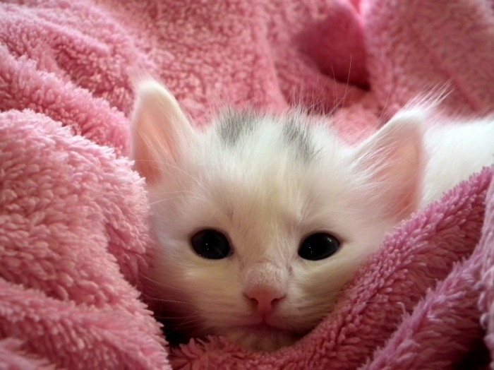 Belyiy kotenok makro krupnyie chernyie glaza White kitten macro large black eyes 4048  2536 700x524 Белый котенок, макро, крупные черные глаза   White kitten, macro, large black eyes
