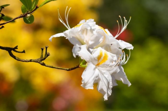 Belyiy redkiy tsvetok makro buton tsvetok na dereve White rare flower macro bud flower on tree 5184  3456 700x466 Белый редкий цветок, макро, бутон, цветок на дереве   White rare flower, macro, bud, flower on tree