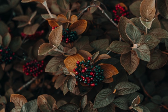 Kust volchya yagoda makro listya Bush wolfberry macro leaves 6000h4000 700x466 Куст, волчья ягода, макро, листья   Bush, wolfberry, macro, leaves