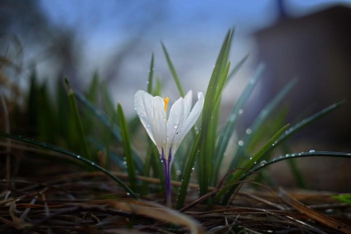Podsnezhnik krupnyim planom vesna tsvetok Snowdrop closeup spring flower 5616  3744 700x466 Подснежник, крупным планом, весна, цветок   Snowdrop, closeup, spring, flower