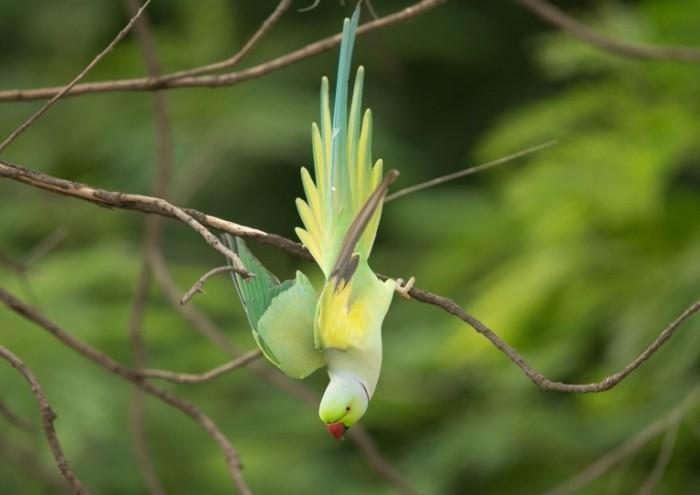 Попугай висит на ветке вниз головой   parrot hangs on a branch upside down