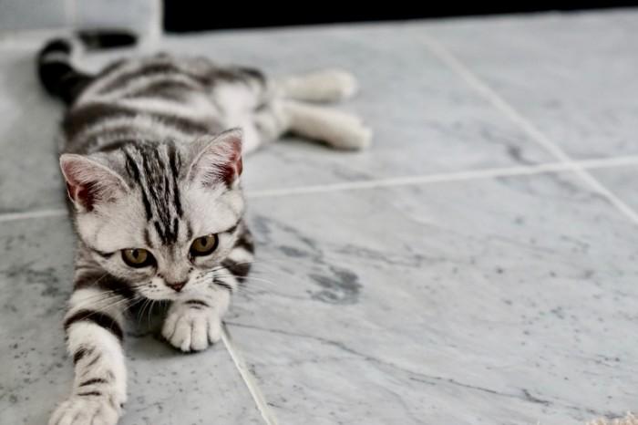 Seryiy kotenok na kafelnom polu s ryizhimi glazami Gray kitten on a tiled floor with red eyes 6000h4000 700x466 Серый котенок на кафельном полу с рыжими глазами   Gray kitten on a tiled floor with red eyes
