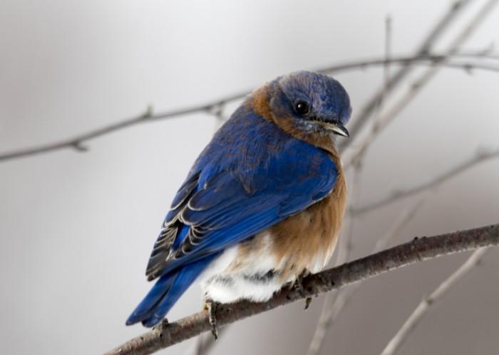 Сине коричневая птичка на ветке, макро   Blue brown bird on a branch, macro