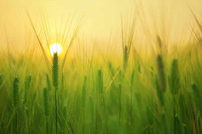 Зеленые колоски пшеницы в лучах солнца на поле   Green spikelets of wheat in the sun on the field