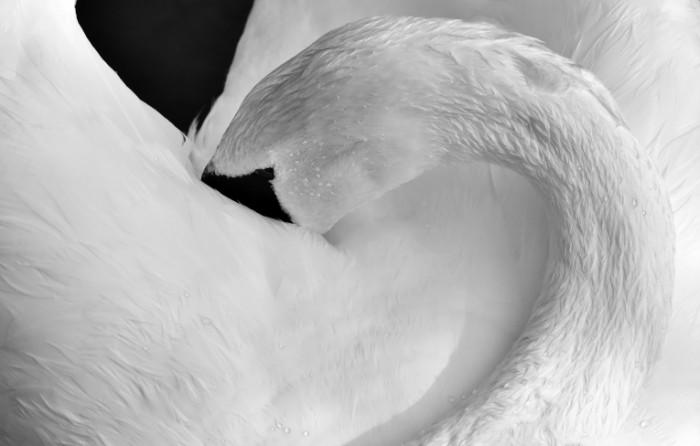 Belyiy lebed krupnyim planom White swan close up 5299  3386 700x446 Белый лебедь крупным планом   White swan close up