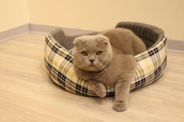 Britanskiy kot v lezhanke s zheltyimi glazami British cat in a couch with yellow eyes 5184  3456 700x466 Британский кот в лежанке с желтыми глазами   British cat in a couch with yellow eyes