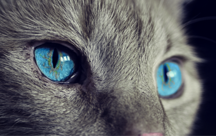Koshachi glaza krupnyim planom yarkie golubyie zrachki Cats eyes close up bright blue pupils 3677  2310 700x439 Кошачьи глаза крупным планом, яркие голубые зрачки   Cats eyes close up, bright blue pupils