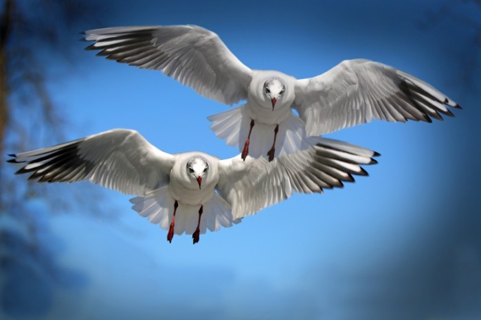 Para chaek letit na fone neba pair of seagulls flying against the sky 5760  3840 700x466 Пара чаек летит на фоне неба   pair of seagulls flying against the sky
