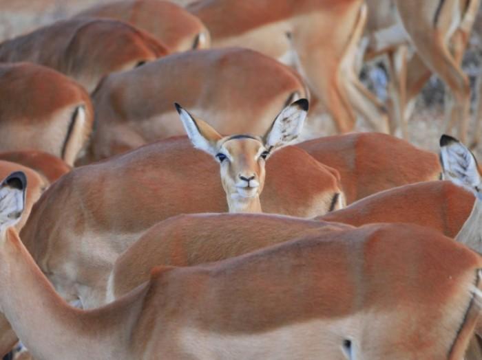 Stado impala impala vyiglyadyivaet Herd impala peeping 5184  3888 700x524 Стадо импала, импала выглядывает   Herd impala peeping