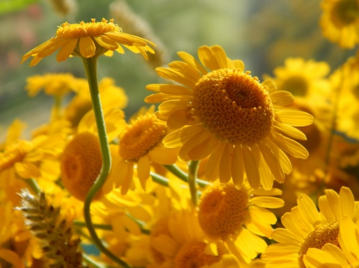 ZHeltyie romashki polevyie tsvetyi makro Yellow daisies wildflowers macro 4608  3456 700x524 Желтые ромашки, полевые цветы, макро   Yellow daisies, wildflowers, macro