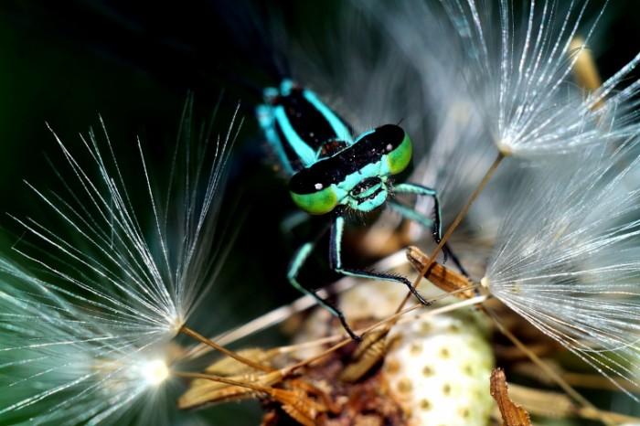 Sinyaya strekoza na oduvanchike makro Blue dragonfly on dandelion macro 5472  3648 700x466 Синяя стрекоза на одуванчике, макро   Blue dragonfly on dandelion, macro