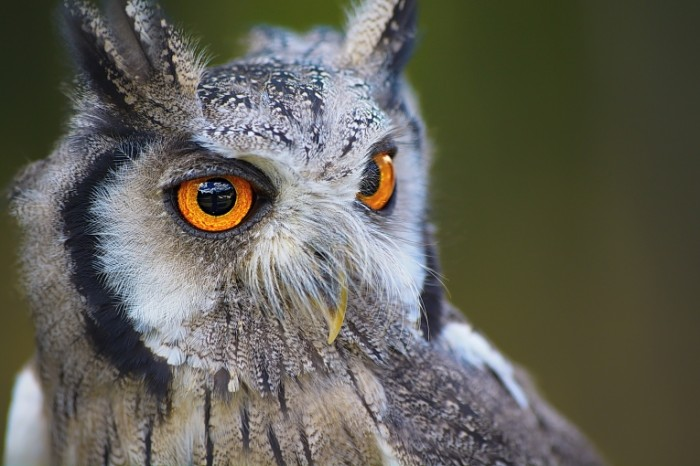 Sova ya yarkimi zheltyimi glazami makro Owl I have bright yellow eyes close up 6000  4000 700x466 Сова я яркими желтыми глазами, макро   Owl I have bright yellow eyes, close up