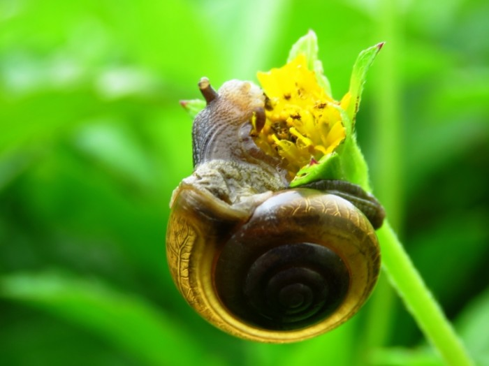 Ulitka est yarkiy zheltyiy tsvetok makro Snail eating bright yellow flower macro 4608  3456 700x524 Улитка ест яркий желтый цветок, макро   Snail eating bright yellow flower, macro
