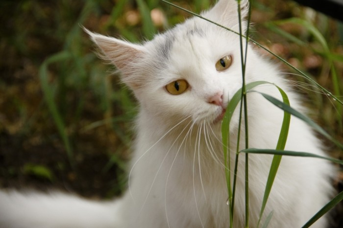 Belyiy kot zhuet travu na prirode White cat chewing grass in nature 5184  3456 700x466 Белый кот жует траву на природе   White cat chewing grass in nature