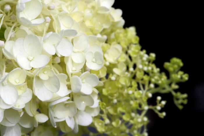 Gortenziya krupnyim planom krasivyie belyie tsvetyi Hydrangea closeup beautiful white flowers 5472  3648 700x466 Гортензия крупным планом, красивые белые цветы   Hydrangea closeup, beautiful white flowers