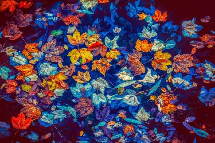 Opavshie osennii listya v temnoy vode Fallen autumn leaves in dark water 4896  3264 700x466 Опавшие осеннии листья в темной воде   Fallen autumn leaves in dark water