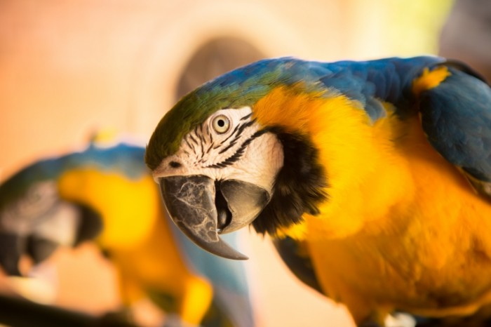 Popugay kakadu krupnyim planom makro Macro cockatoo parrot 5760  3840 700x466 Попугай какаду крупным планом, макро   Macro cockatoo parrot