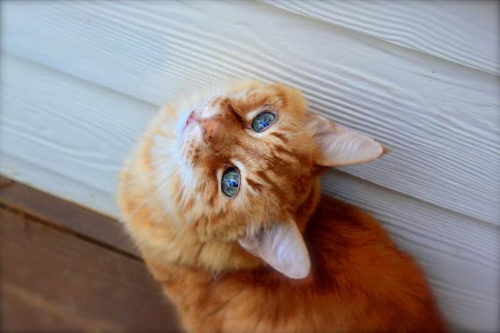 Ryizhiy kot ulichnyiy kot kristalnyie glaza Red cat outdoor cat crystal eyes 4692  3128 700x466 Рыжий кот, уличный кот, кристальные глаза   Red cat, outdoor cat, crystal eyes