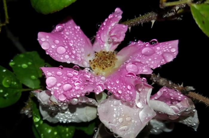 TSvetok rosa makro utrennyaya rosa Flower dew macro morning dew 4508  2988 700x463 Цветок, роса, макро, утренняя роса   Flower, dew, macro, morning dew