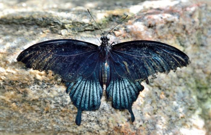 Bolshaya chernaya babochka makro nasekomoe Big black butterfly macro insect 5645  3616 700x448 Большая черная бабочка, макро, насекомое   Big black butterfly, macro, insect