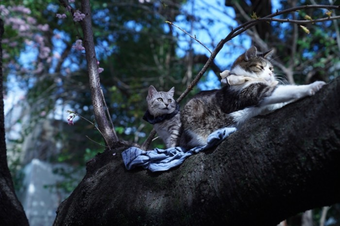 Koshki na dereve seryie domashnii kotyi na vetke Cats on a tree gray domestic cats on a branch 4299  2849 700x466 Кошки на дереве, серые домашнии коты на ветке   Cats on a tree, gray domestic cats on a branch