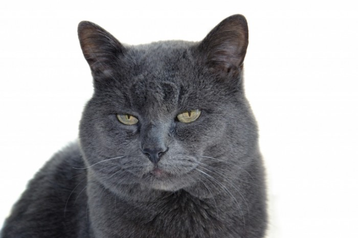 Naglyiy britanskiy seryiy kot Impudent british gray cat 4608  3072 700x466 Наглый британский серый кот   Impudent british gray cat