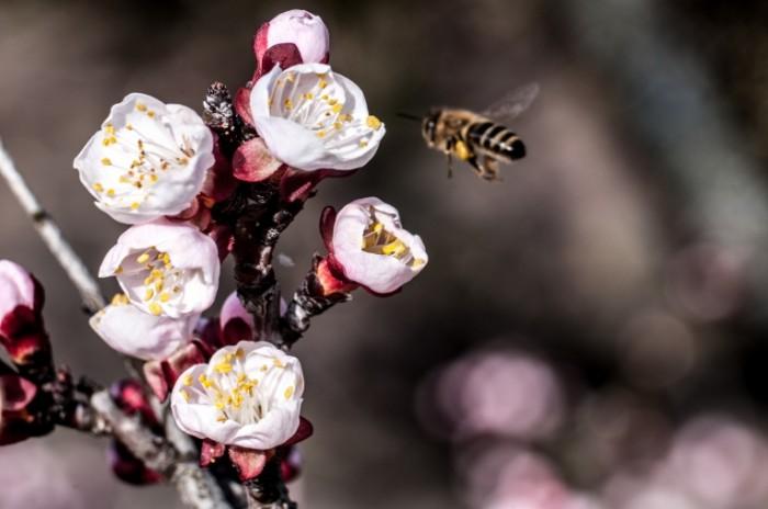 Pchela podletaet k tsvetku na dereve bee flies to the flower on the tree 4288  2848 700x464 Пчела подлетает к цветку на дереве   bee flies to the flower on the tree