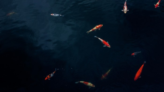 YAponskie ryibki v temnoy vode prud Japanese fish in the dark water pond 4896  2760 700x394 Японские рыбки в темной воде, пруд   Japanese fish in the dark water pond