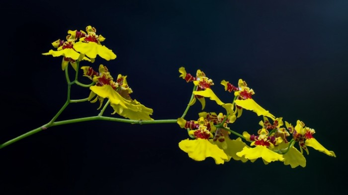 YArkie zheltyie neobyichnyie tsvetki na vetke Bright yellow unusual flowers on a branch 8519  4792 700x393 Яркие желтые необычные цветки на ветке   Bright yellow unusual flowers on a branch