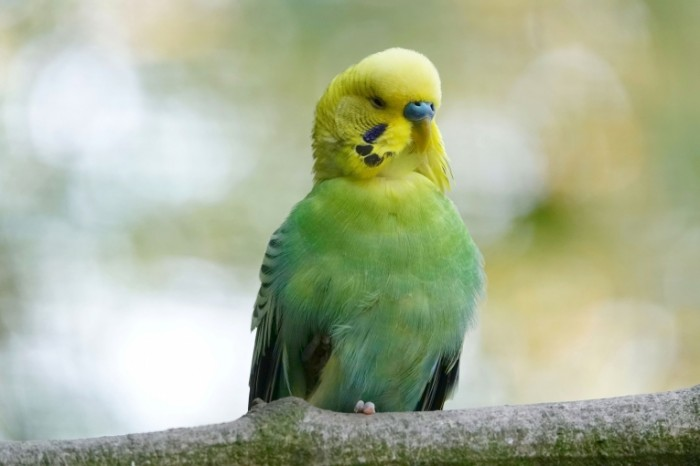 ZHelto zelenyiy volnistyiy popugaychik makro Yellow green budgie macro 5472  3648 700x466 Желто зеленый волнистый попугайчик, макро   Yellow green budgie, macro